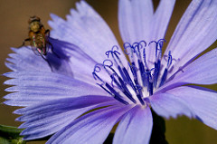 Cichorium intybus, ©Patrick Alexander under a Creative Commons license